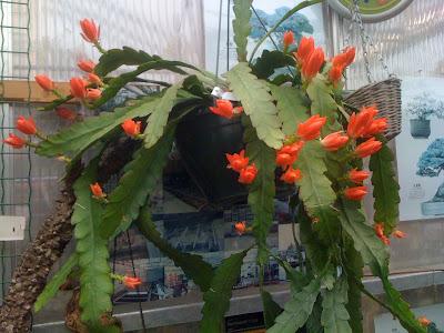 Amsterdam Flower Market, epiphyllum, flowers, succulents, cacti, cactus
