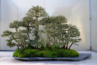 The Intercontinental Gardener Last Chance To See The Pacific Rim Bonsai Collection