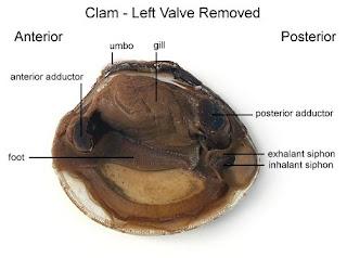 Ava s county  clam