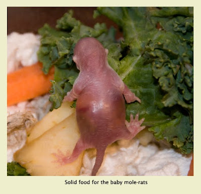 When Do Baby Rats Eat Solid Food