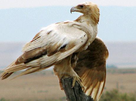 [albino+golden+eagle.jpg]