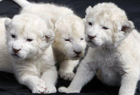 [white+lion+cubs.jpg]