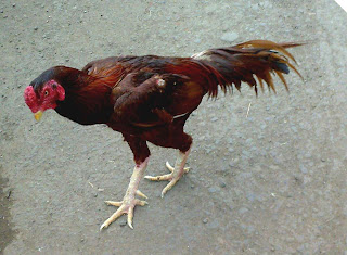 Fighting Rooster February 2010
