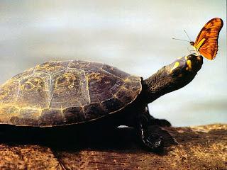 http://1.bp.blogspot.com/_NSWBEWPPn4Q/S9C0IynvPYI/AAAAAAAAAMs/5DevSA2XTk4/s1600/papel-de-parede-gratuito-de-natureza-tartaruga-da-amazonia.jpg
