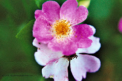 My favorite flower - a pink wild rose