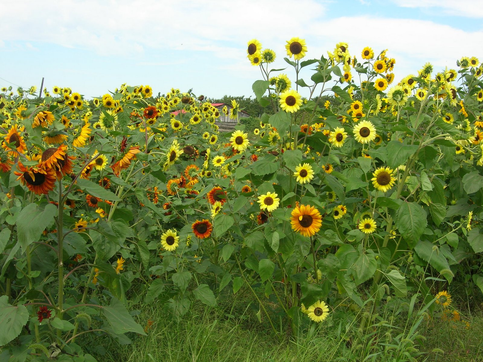 [Sunflowers+McConnell]