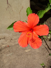 Hibiscus at my Door