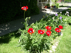 Red Poppies at Palmer House
