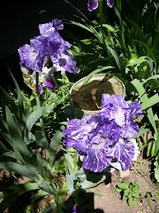 Iris at Palmer House
