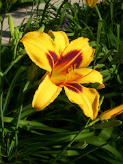 Day Lily in July