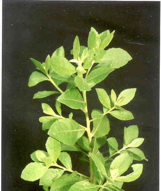 Aneka Obat Herbal Tradisional Alami Berkhasiat: Manfaat