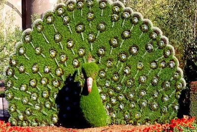 tree looks like peacock