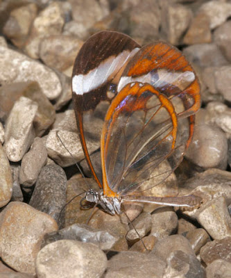 Glasswing+butterfly+21.jpg
