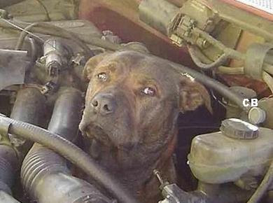Dog in engine compartment (4) 3
