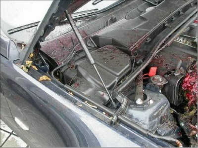 Deer in engine compartment (4) 4
