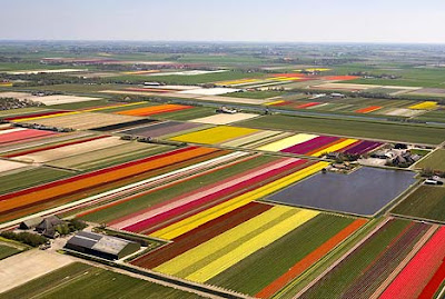 Spectacular Display Of Color - Tulip Fields (11) 11