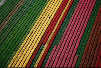 Spectacular Display Of Color - Tulip Fields (11) 3