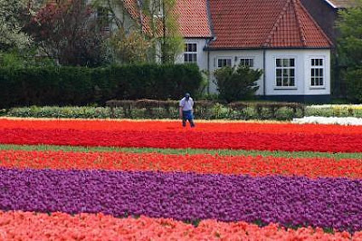 Spectacular Display Of Color - Tulip Fields (11) 4