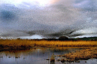 Starlings Spectacular Flocks Turns Skies Black (9) 9