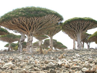 Trees From Socotra Islands (2) 1