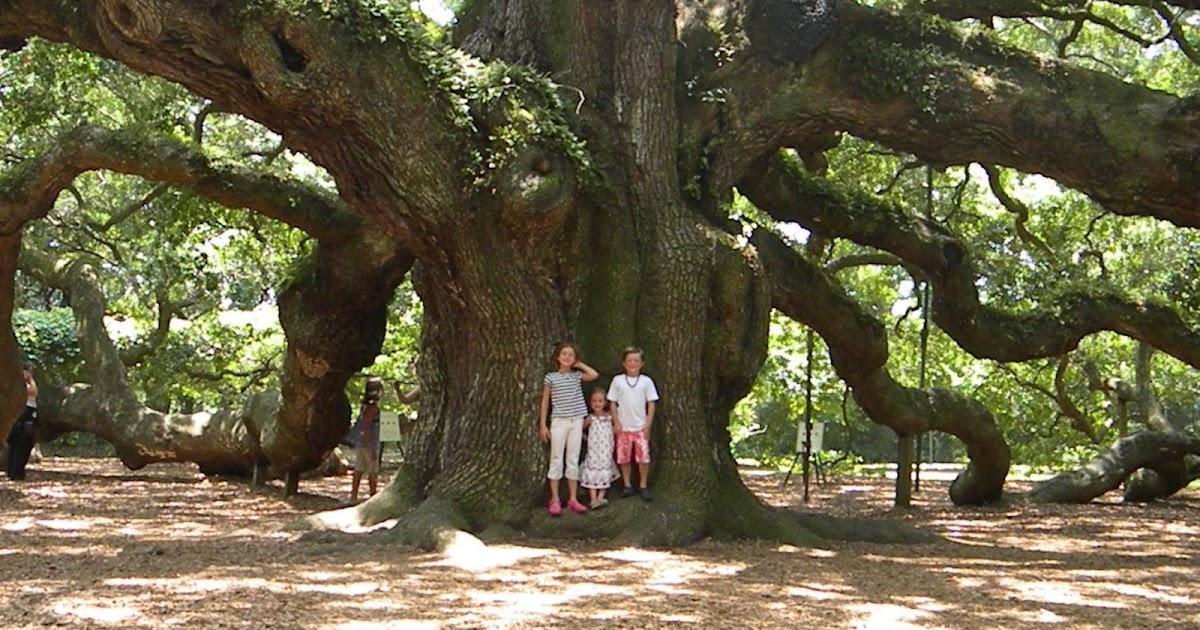 Three Pixie Lane Angel Oak Tree
