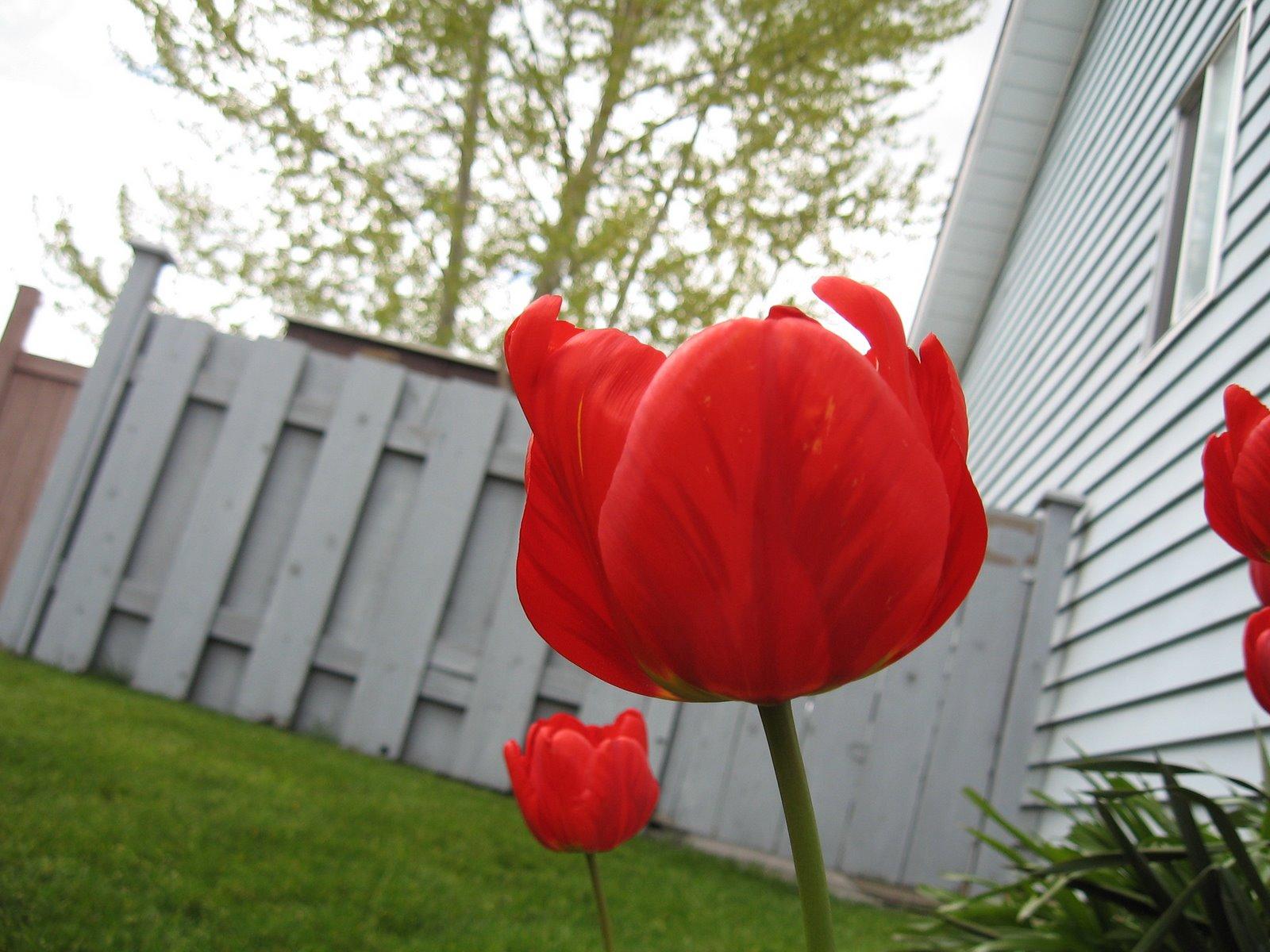 [spring+tulip]