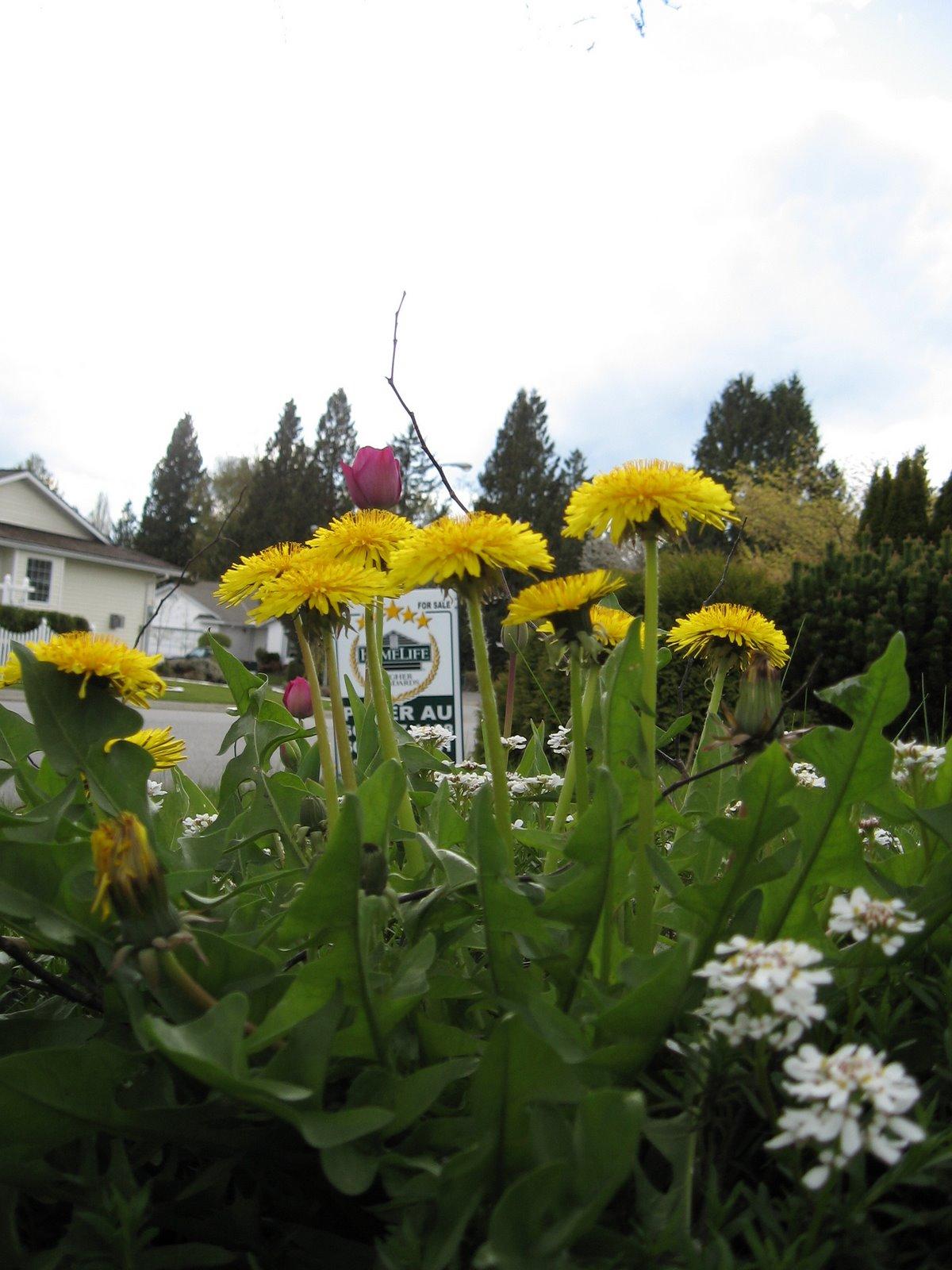 [spring+dandelions]