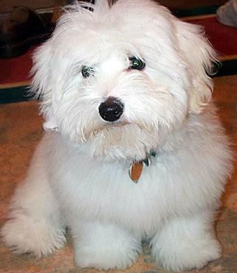 Dog Breed Coton De Tulear Rescue