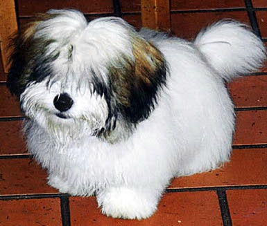 Buy a Coton de Tulear Dog