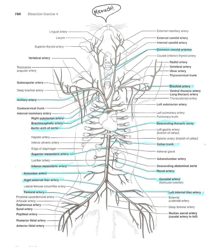 anatomyforme     Diagrams    of Feline    Arterial    and Venous Systems