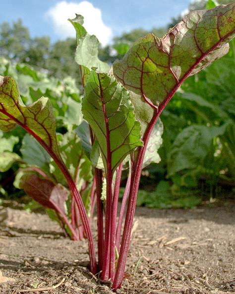 Greeny Crops Beet Root