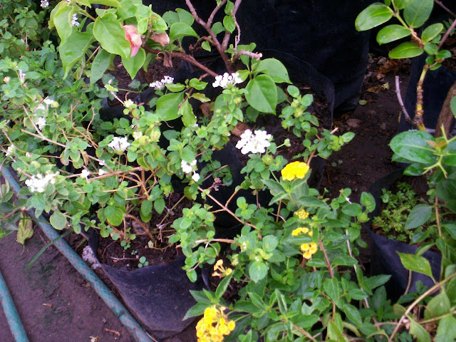 Flores y Plantas: Plantas con letra K, L