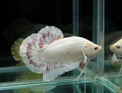 General characteristics color tail shape behavior for Tank mates for betta fish