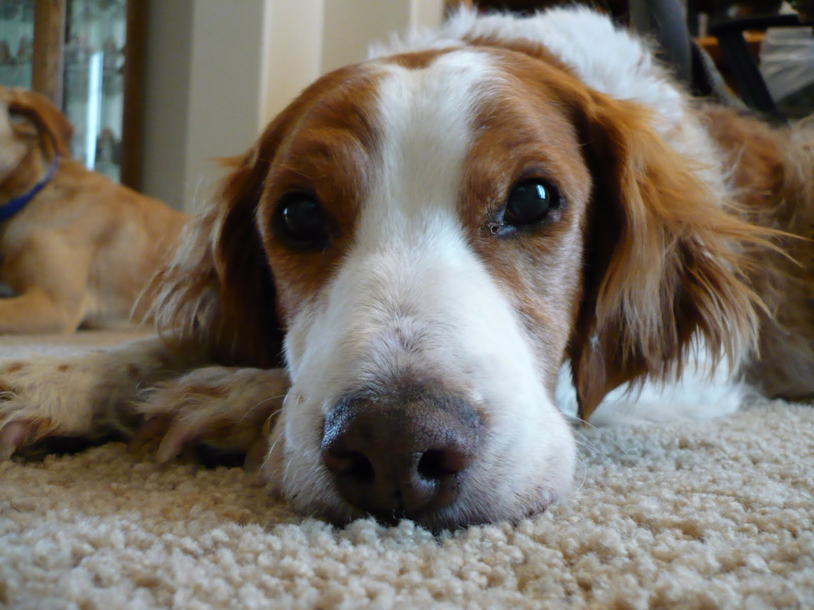 brittany spaniel lab mix