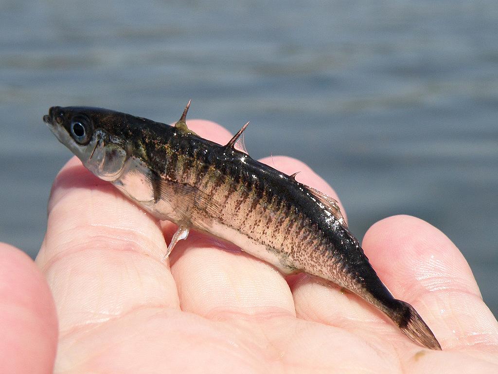 Image result for Stickleback Fish