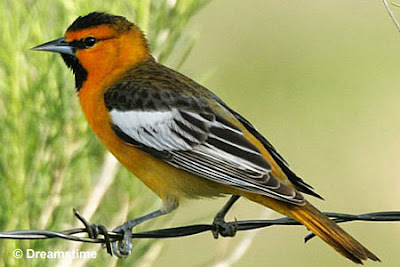 Birds From The Ricks Bullock S Oriole And Window Hit