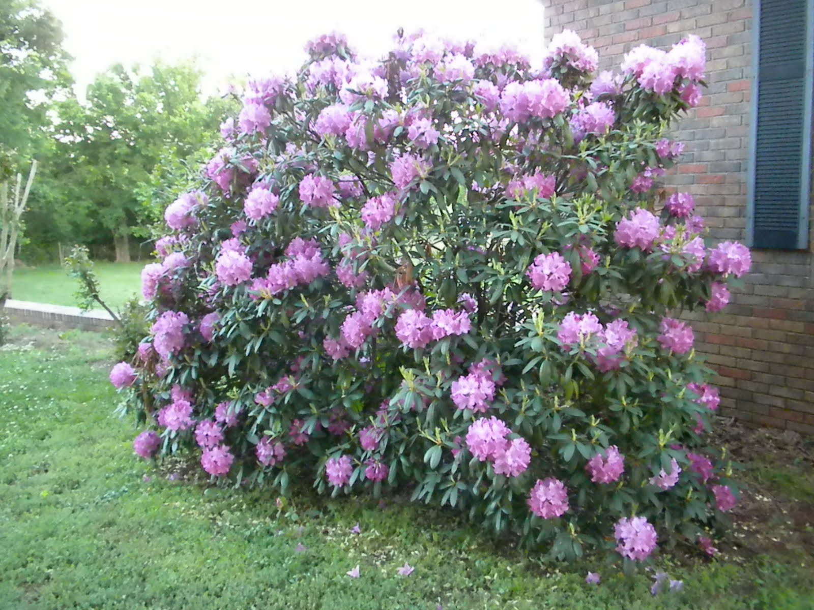 A Meek Perspective: Rhododendron Bush