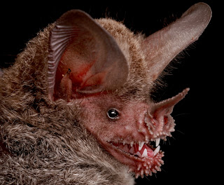 Fringe-lipped bat, Trachops cirrhosus