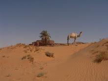 Els camells blancs son nigerians. Timimoun