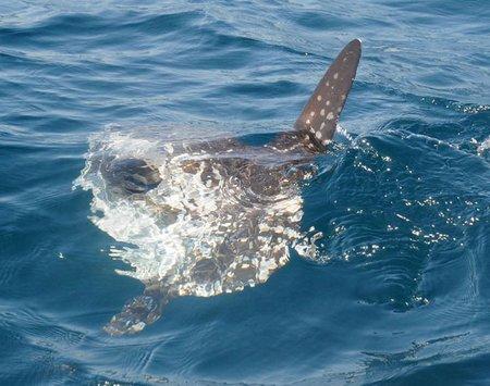 Mola Mola Le Poisson Lune Ou Sun Fish Le Pictographe