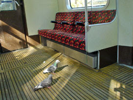 pigeons on the District line