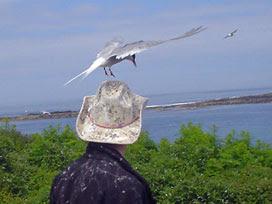 Arctic tern attack