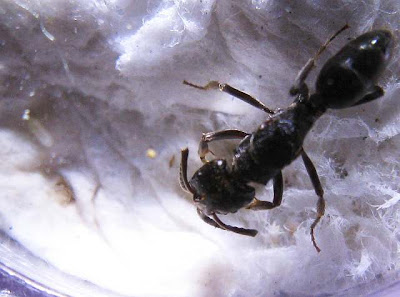 Queen or gyne of Odontoponera denticulata