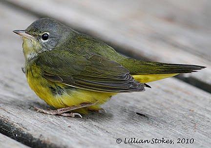 STOKES BIRDING BLOG: Mourning Warbler ID