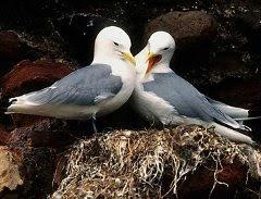 طيور النورس تتجنب زواج الأقارب