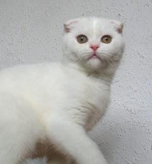 britisch kurzhaar bkh kitten und britisch langhaar katzenbabys scottish fold m dchen in white. Black Bedroom Furniture Sets. Home Design Ideas