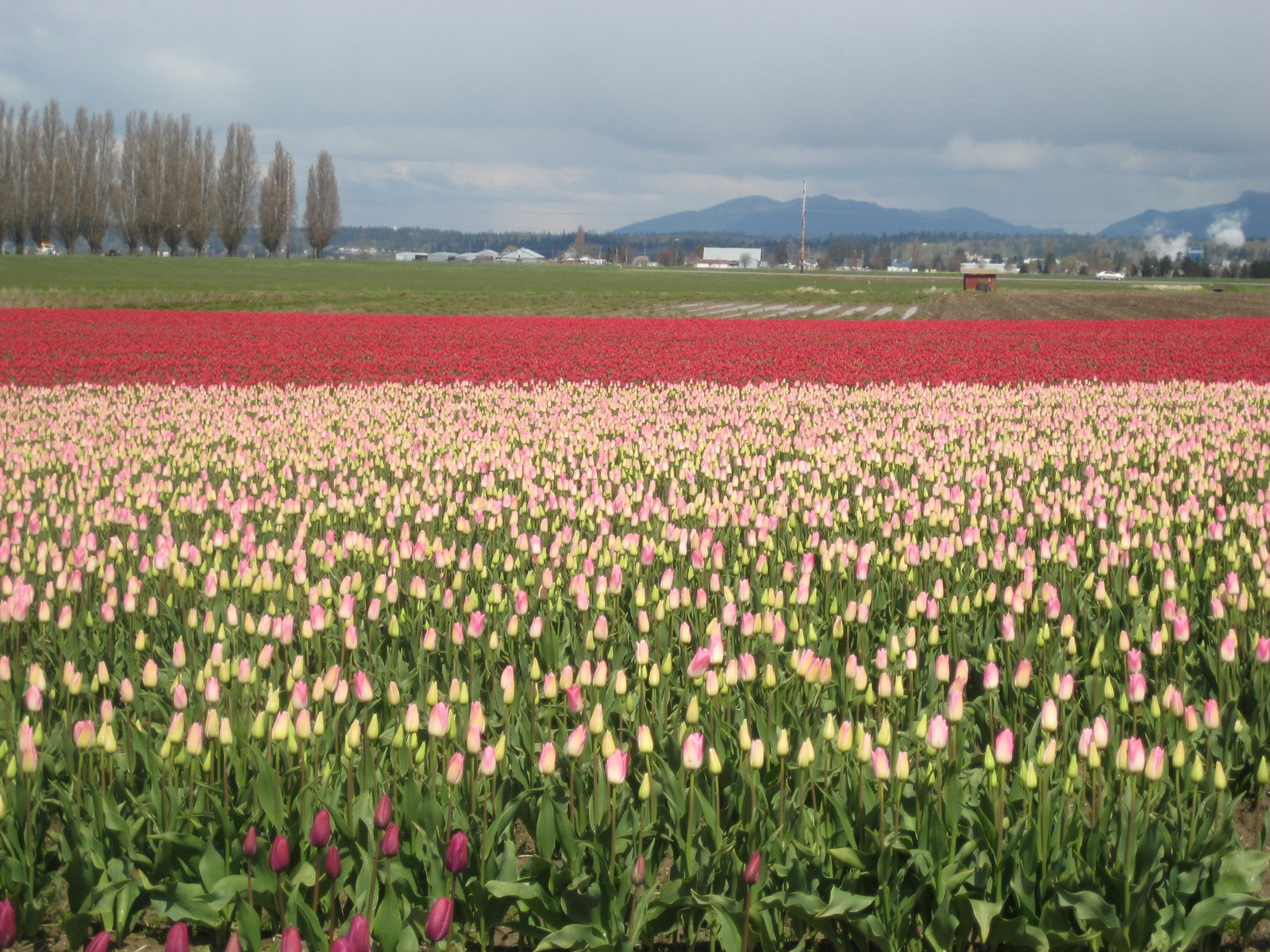 Enjoy.  I took this photo at a Tulip Festival outside of Seattle.