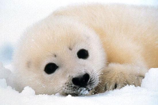 [seal_pup.jpg]