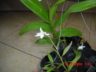 Ini adalah bunga anggrek pemberian tetanggaku yang baik hati. Diberi nama bunga  anggrek burung dara karena bentuknya mirip burung dara. 2568b2cf37