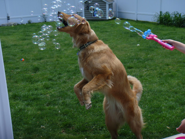 golden retriever dog pops bubbles #wordlesswednesday